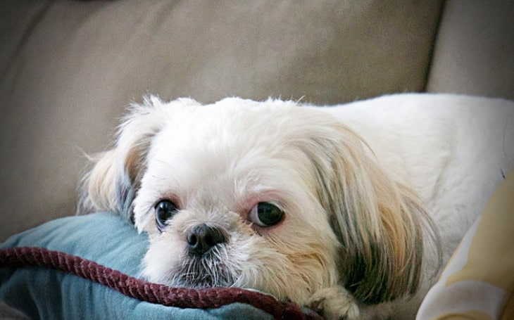 Shih Tzu Are Toy Breeds