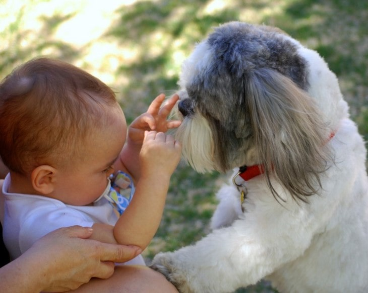 Shih Tzu Are Well With Older Children