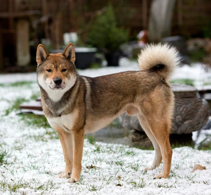 Shikoku Is A Very Active Breed