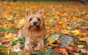 Silky Terrier Are Small Dogs With Big Personality
