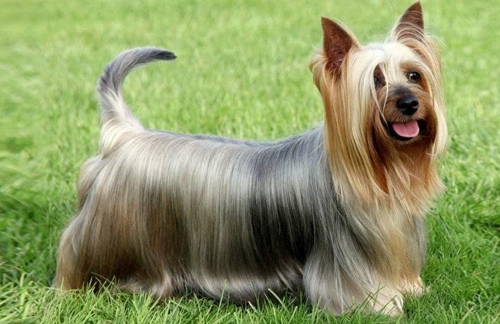 Silky Terrier Are Very Energetic
