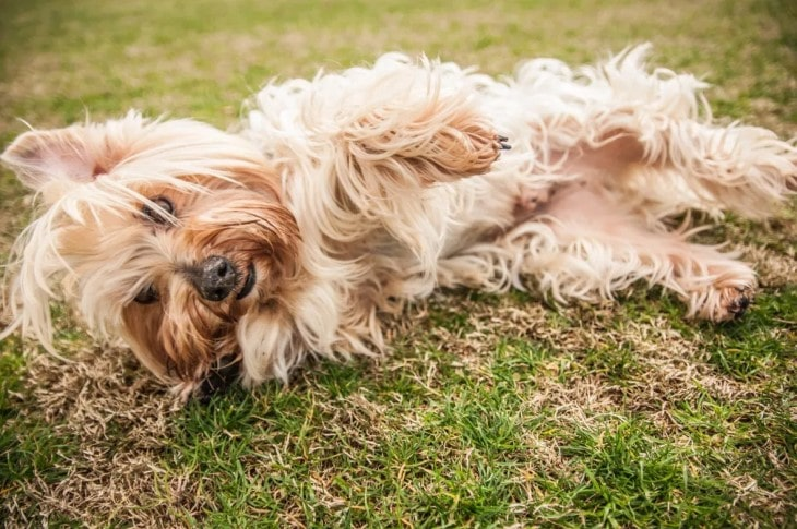 Silky Terrier Are Very Playful