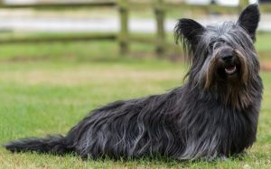 Skye Terrier Have A Strong Personality.