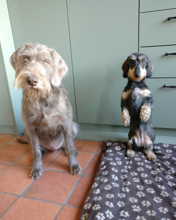 Slovakian WireHaired Pointer Is Easygoing With Other Dogs.