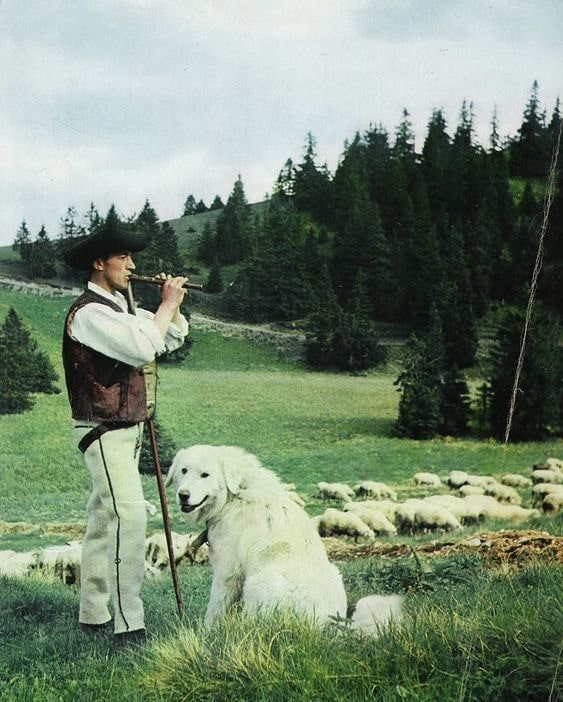Slovensky Cuvac with its master.