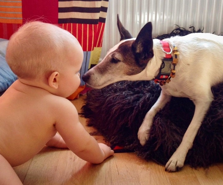 Smooth Fox Terrier is child friendly