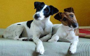 Smooth Fox Terriers behavior