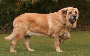 Spanish Mastiff temperament and personality