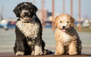 Spanish Water Dog personality and temperament