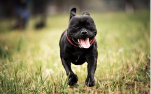 Staffordshire Bull Terrier Is an Energetic And Athletic Dog.