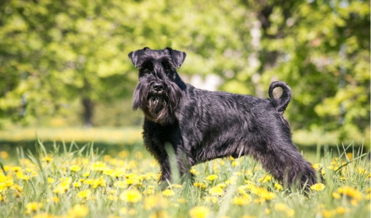 Standard Schnauzer Dog Makes Alert Watchdogs.