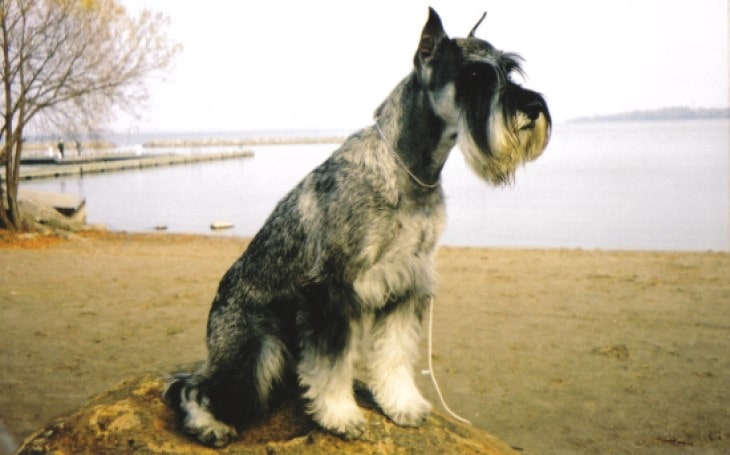 Standard Schnauzers Is An Active Breed.