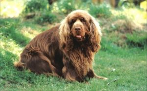 Sussex Spaniel Makes Good Companion .