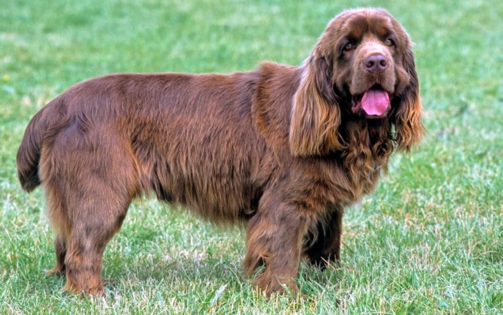 Sussex Spaniel Is Easygoing With People.