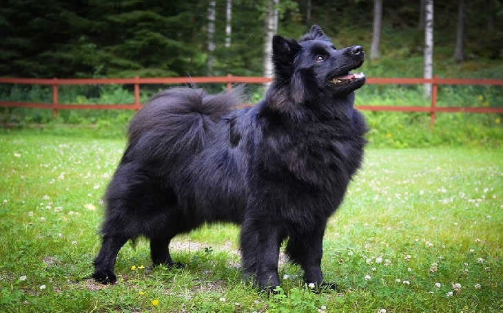 Swedish Lapphund personality ad temperament