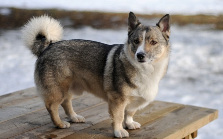 Swedish Vallhund  Is Gentle And Calm With Their Owner.