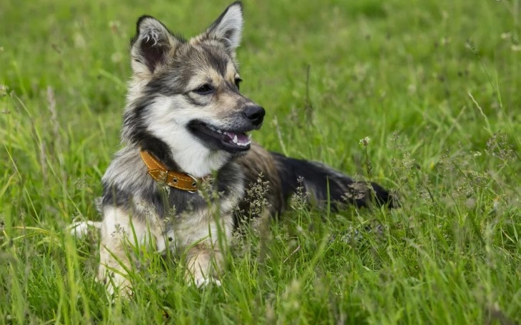 Swedish Vallhund Is An Active Breed.
