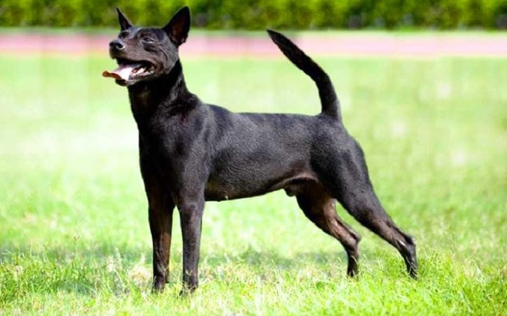 Taiwan Dog Breeds Belong To Taiwan