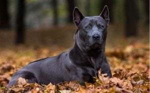 Thai Ridgeback personality and temperament