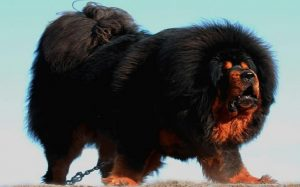 Tibetan Mastiff temperament and personality