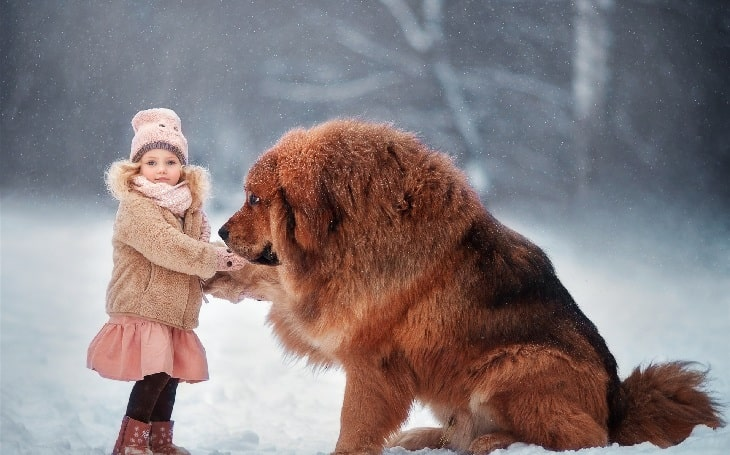Tibetan Mastiff is friendly with family children