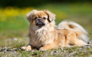 Tibetan Spaniel temperament and personality