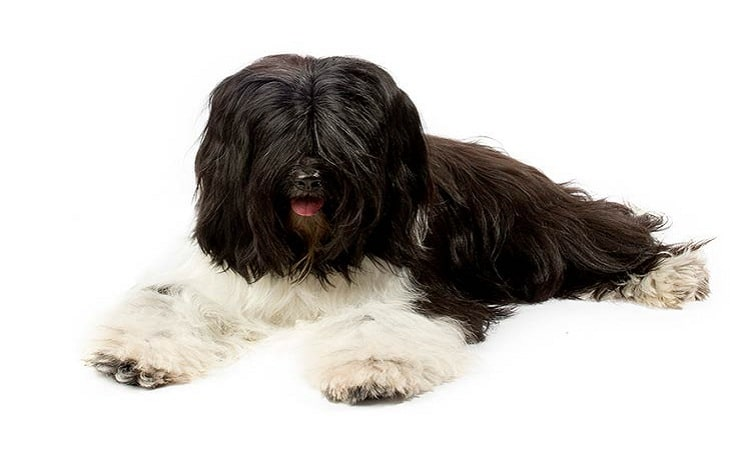 Tibetan Terrier personality and temperament