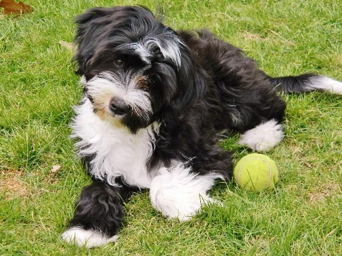 Tibetan Terrier puppy playing ball
