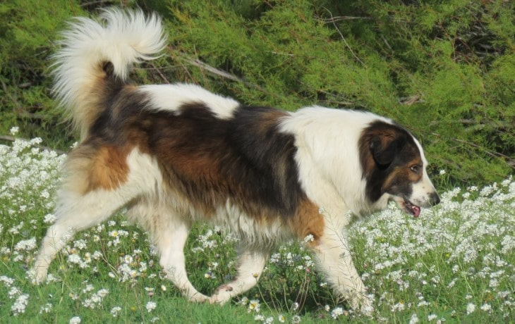 Tornjak Is A playful Breed.