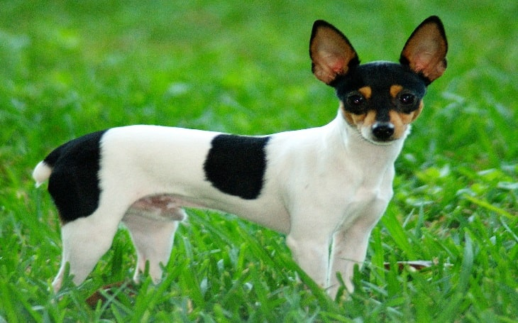Toy Fox Terrier personality and temperament