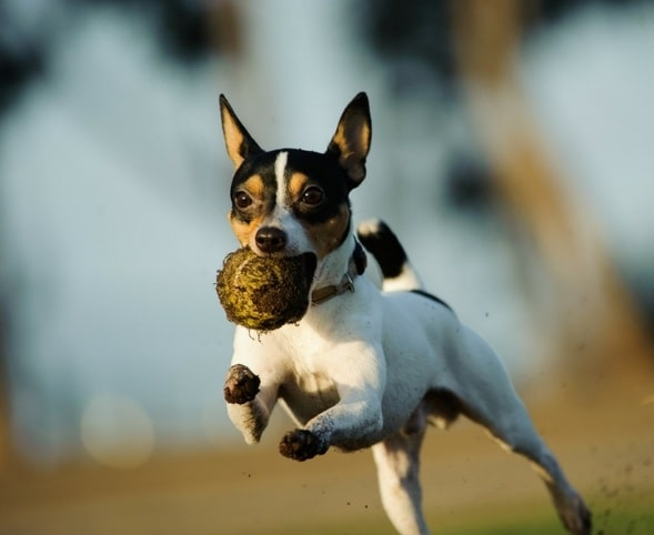 Toy Fox Terrier running with a ball in its mouth
