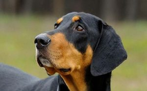 Transylvanian Hound temperament and personality