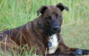 Treeing Tennessee Brindle temperament and personality