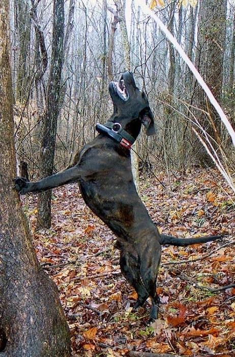 Treeing Tennessee Brindle treeing its prey