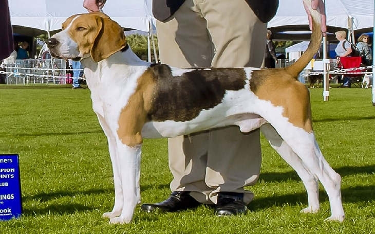 Treeing Walker Coonhound temperament and personality