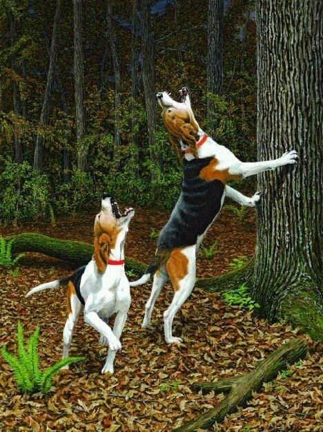 Treeing Walker Coonhounds treeing