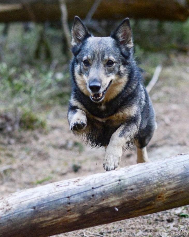 Swedish Vallhund Is Very Energetic.