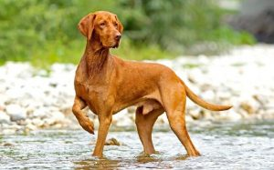 Vizsla personality and temperament
