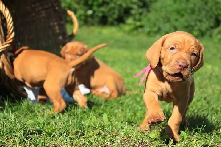 Vizsla is playful