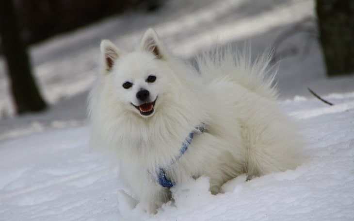Volpino Italiano Is A Small Dog Breed.