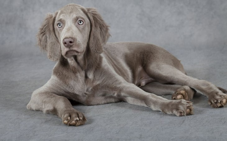 Weimaraner  Is An Athletic Dog.