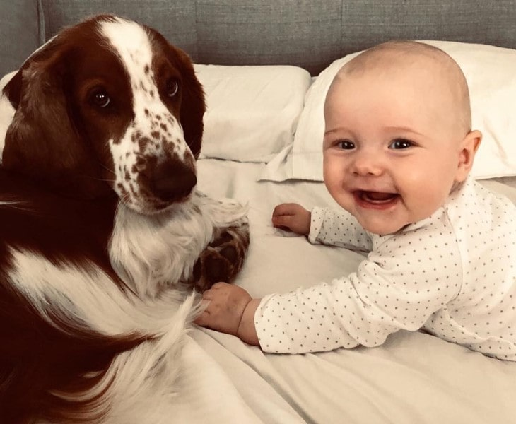 Welsh Springer Spaniel Is Playful With children.