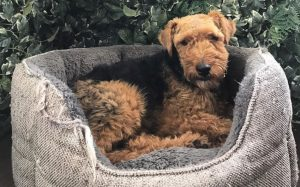 Welsh Terrier Is An Active Dog Breed.