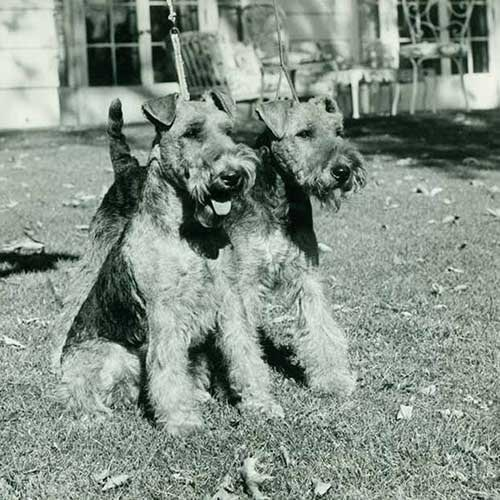 Welsh Terriers standing