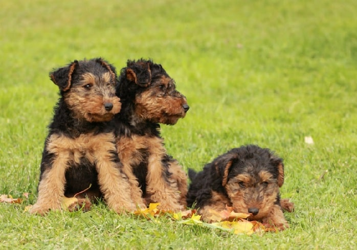 Welsh Terrier Puppy cost
