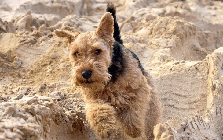 Welsh Terrier Needs A lot Of exercise.