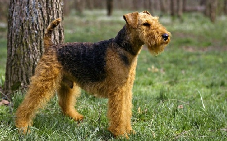 Welsh Terrier history and behavior