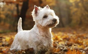 West Highland White Terrier history and behavior