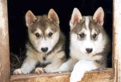 West Siberian Laika puppy cost