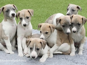 Whippet Puppy cost